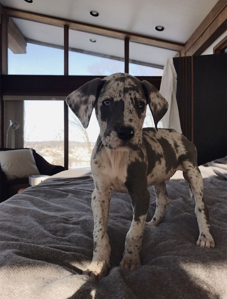 Fawn Great Dane Puppies for Sale in Washington