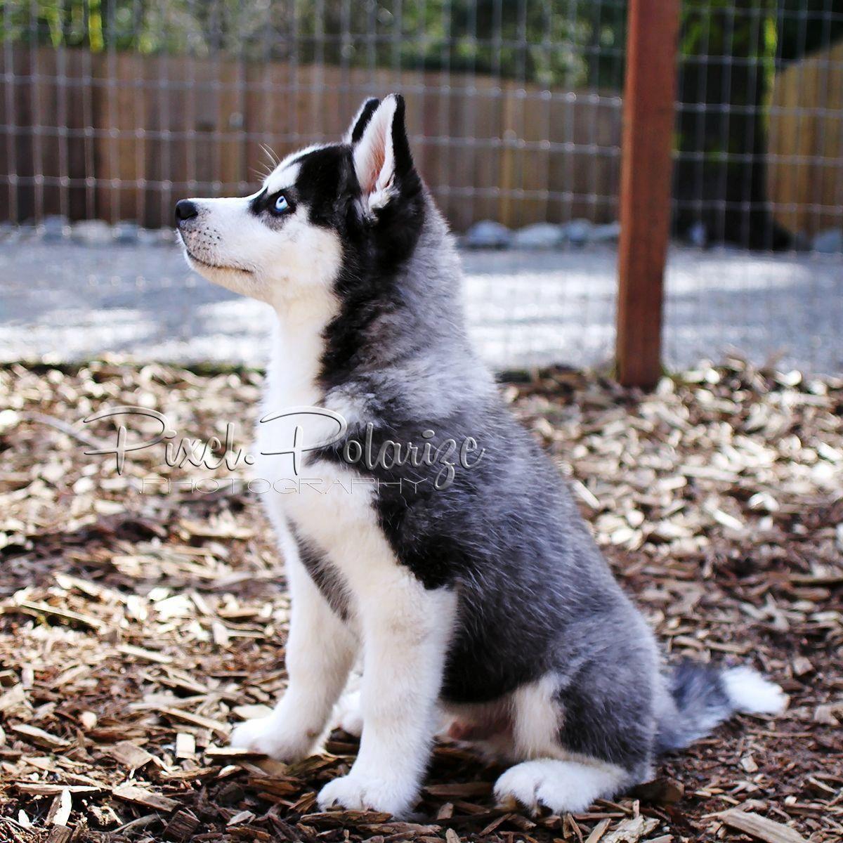 Good Sit Siberian Husky Puppy Sitting Dogdiyhacks
