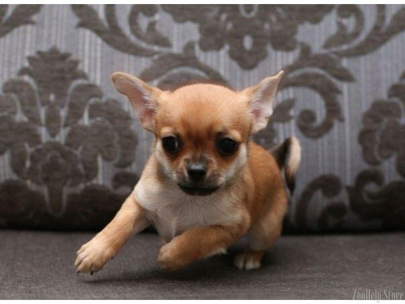 Chihuahua Puppies Pric Chihuahua Puppies Price Chihuahua
