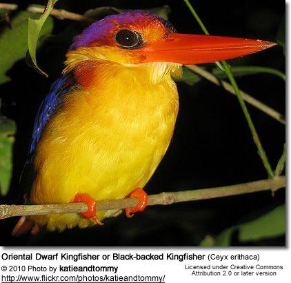 Oriental Dwarf Kingfisher or Black-backed Kingfisher (Ceyx erithaca)