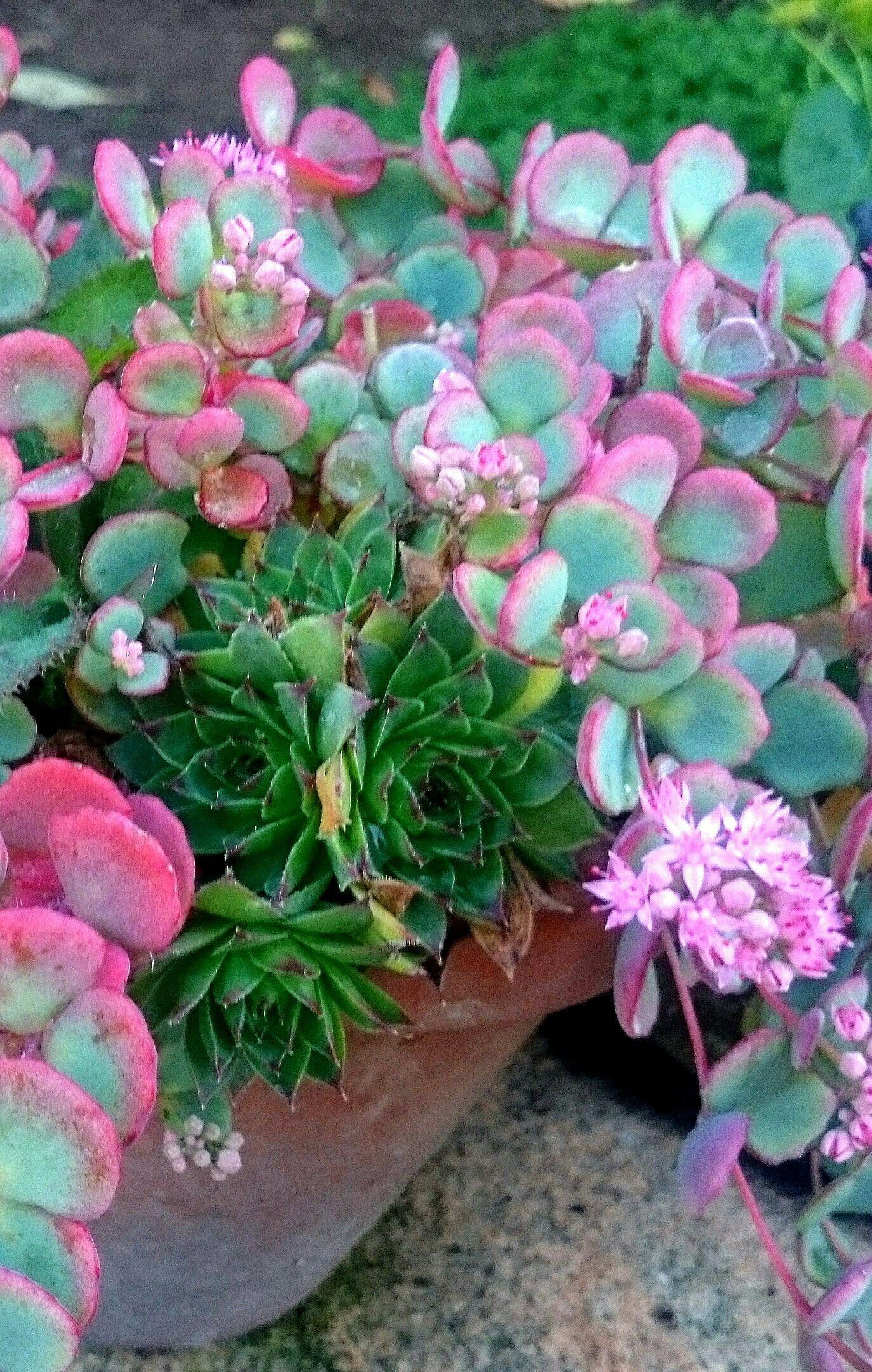 Succulents Garden, Succulent Plants, Pot Plants, Flowers Garden, Desert Flowers,