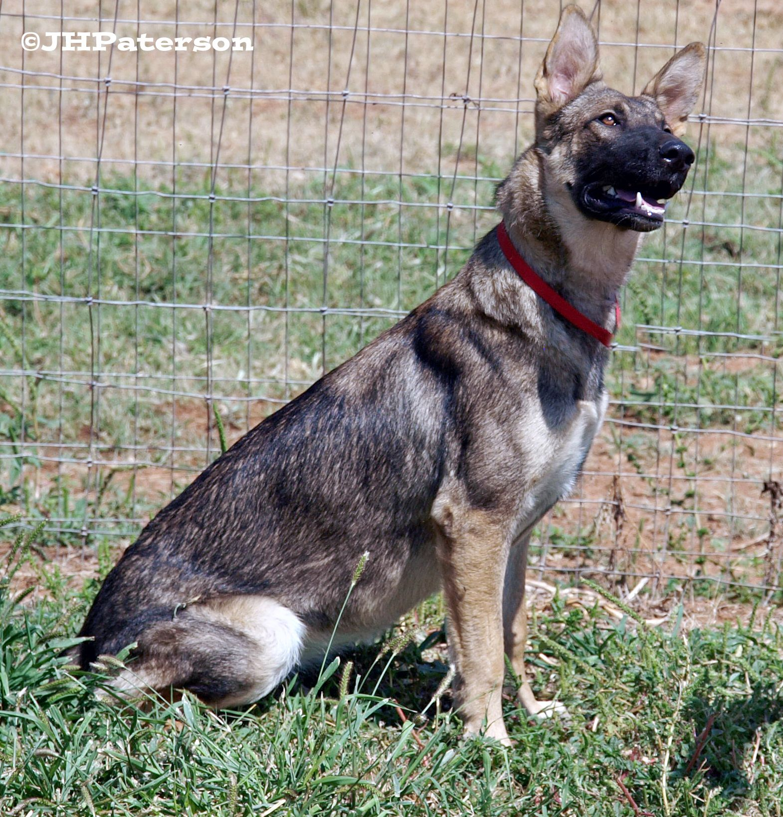 German Shepherd Dog dog for Adoption in Scottsdale, AZ
