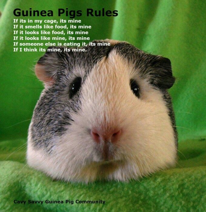 Every its should be it 39 s but this is too good and true for Free guinea pig stuff