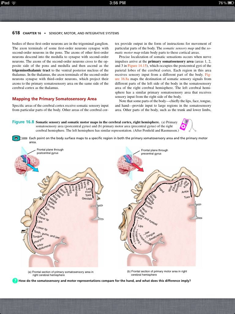 Famoso Chapter 16 Anatomy And Physiology Ilustración - Imágenes de ...