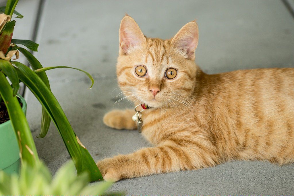 Cats For Sale Near Me CatsLLysine Key 374616310 Why do