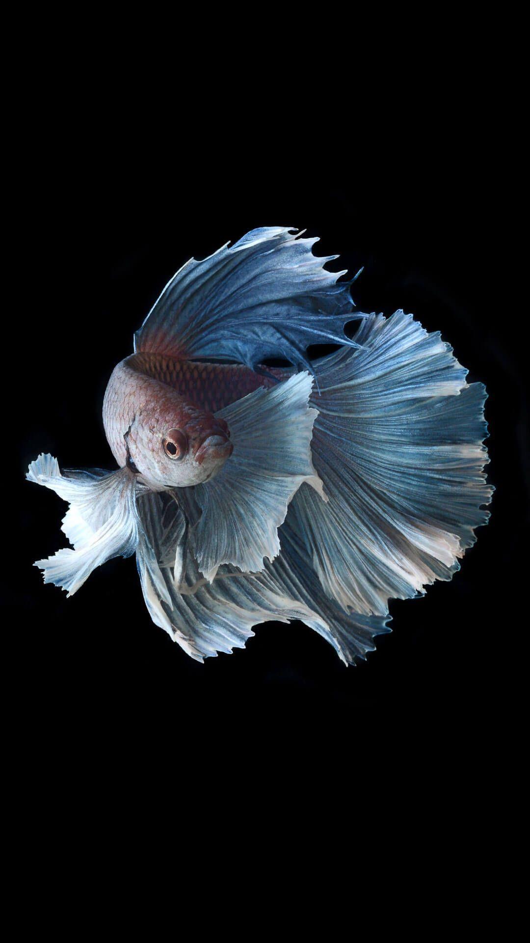 Wallpaper Iphone 6 Plus Fish Sharovarka