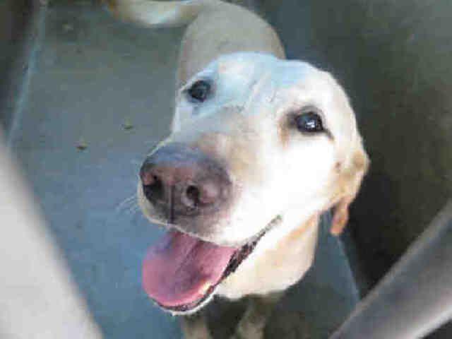 Labrador Retriever Dog For Adoption In Orange Ca Adn 659420 On