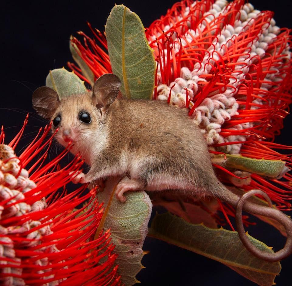 Australian western pygmy possum on Banksia flowers