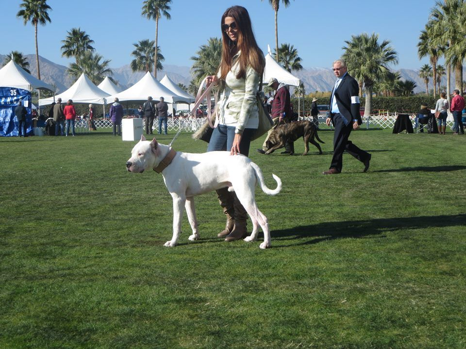 Dogo Argentino Breeder In Palm Springs California Www Puredogo Com Dogo Argentino Breeders Dogo Argentino Puppies