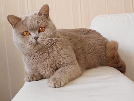 British Shorthair Kittens Cinnamon British Shorthair British