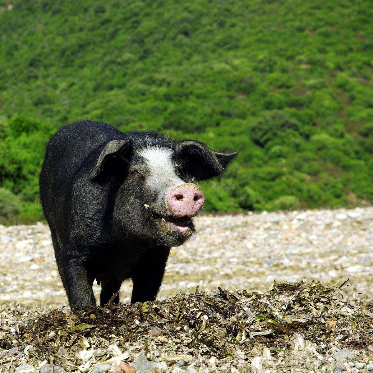 cochon sauvage, Corse. ENFIN UN CORSE EN PHOTO | Corse | Pinterest ...