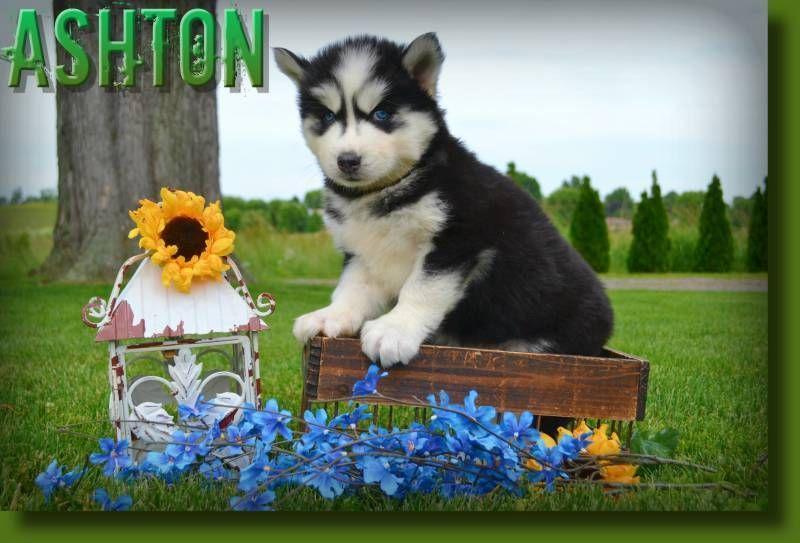 Ashton Male Aca Siberian Husky 675 With Images Siberian Husky