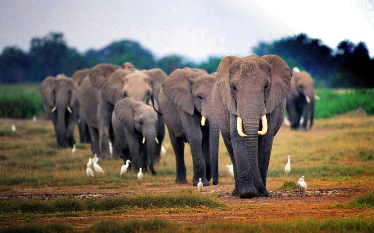African Elephants wallpaper.