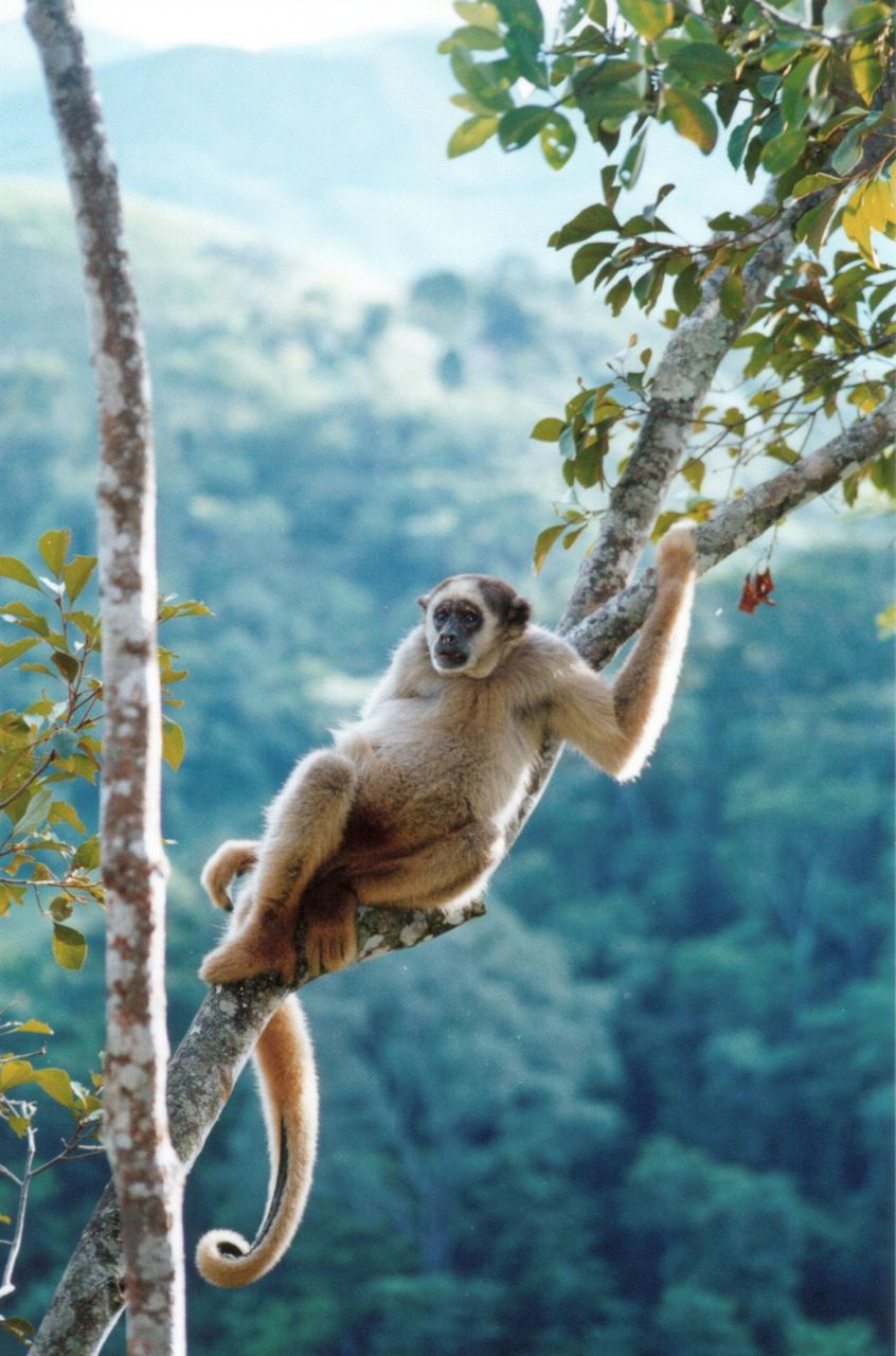 Northern Muriqui - Endangered Animal - Critical