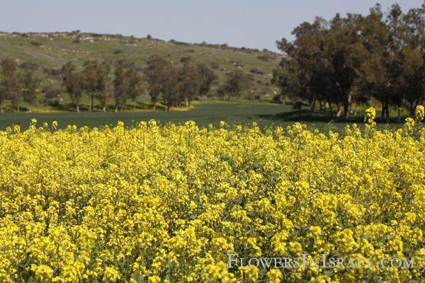 Sinapis Alba White Mustard Salad Mustard חרדל לבן خردل اصفر Yellow Fields Nature Farmland