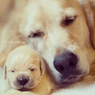 Cute Couple Sleeping With Bae Golden Retriever