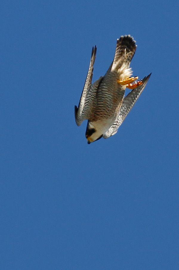 Peregrine Falconm Stoop 0675 Jpg Jpeg Image 600x901 Pixels Peregrine Falcon Birds Of Prey Pet Birds