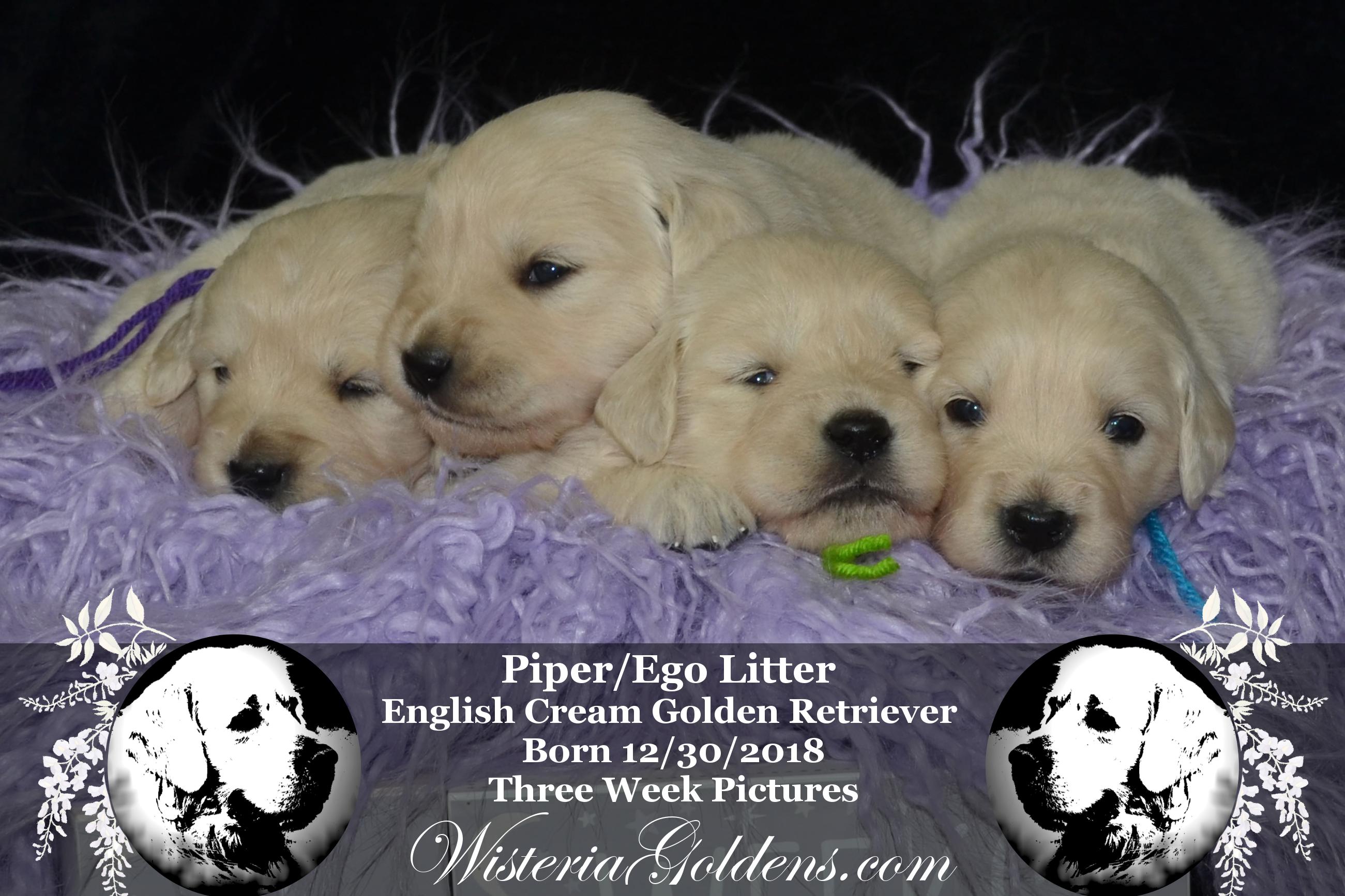 Piper Litter Born 12 30 2018 Piper123018 New Puppy Puppy