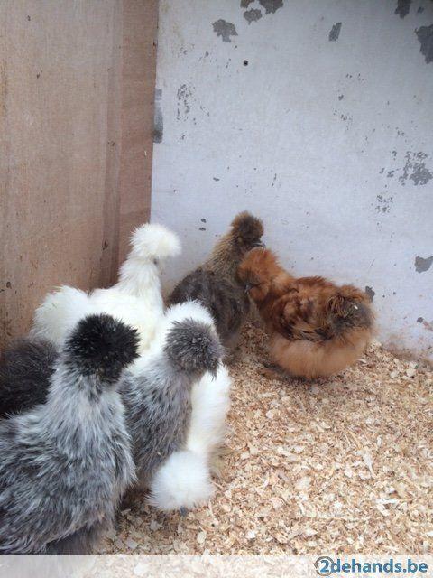 Zijdehoender kippen in verschillende kleuren.