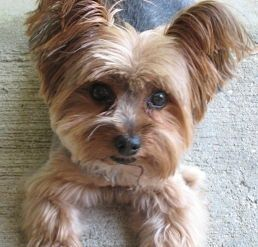 Yorkie Summer Haircut Photos Yorkie Haircuts Yorkie Shih Tzu Puppy Haircuts