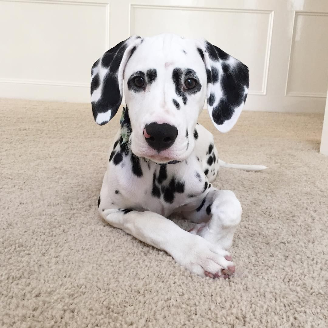 jackson_the_dalmatian Dalmatian Dog Dog Education Puppy