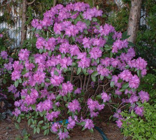 arbustes jardin pinterest arbuste planter des. Black Bedroom Furniture Sets. Home Design Ideas