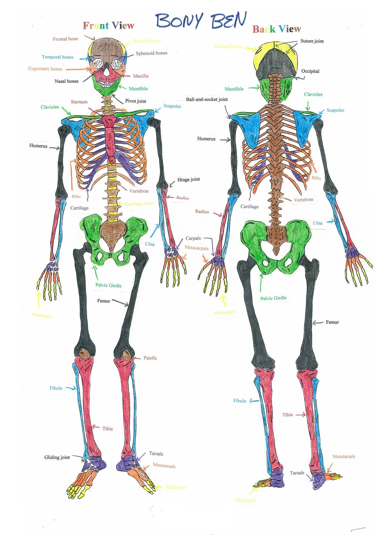 Skeletal System Worksheet Human Body