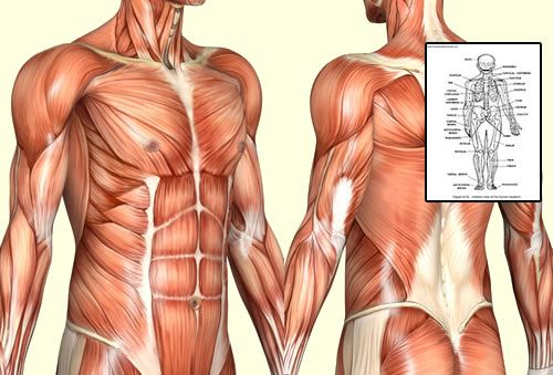 Click Here To Download Human Anatomy And Physiology Course By Dr
