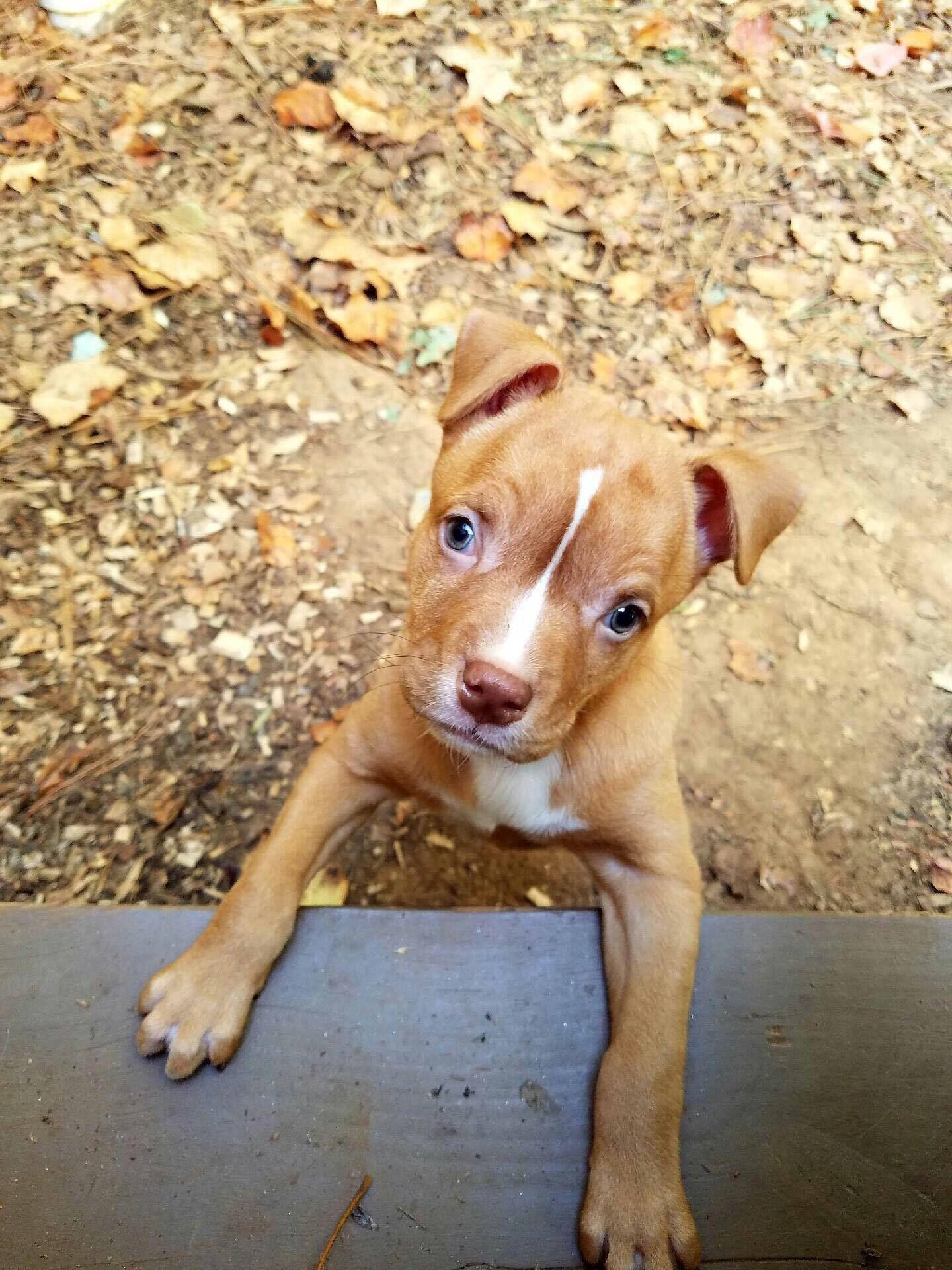 Adopt Fttf Pitbull Rescue Adoption Pitbull Mix