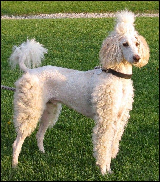 Standard Poodle Rescue Elegant Standard Poodles For Adoption In