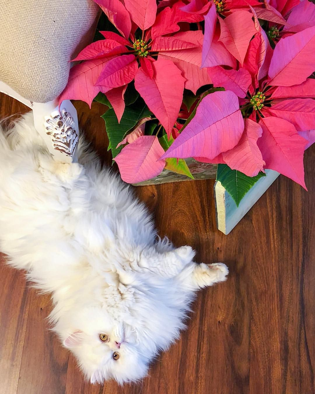 Dollface Persian cat with pink poinsettias