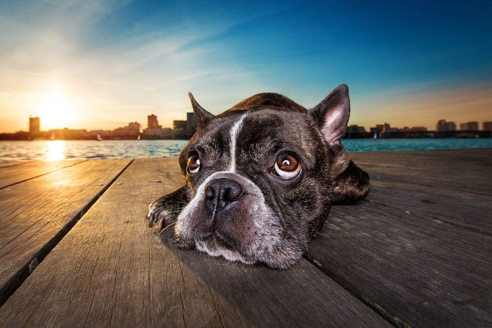 Dog Breath Photography Boston Dog Photographer (With