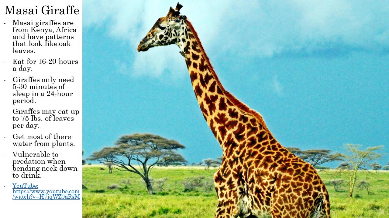 Masi Giraffe Fun facts about animals, Cool pets, Zoo animals