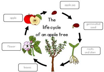 Apple Tree Life Cycle Worksheet Ciencia Tree Life