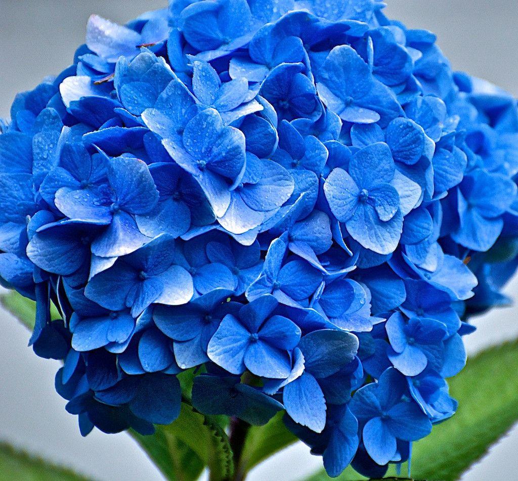 Hydrangea blue hydrangea bouquet wedding flowers