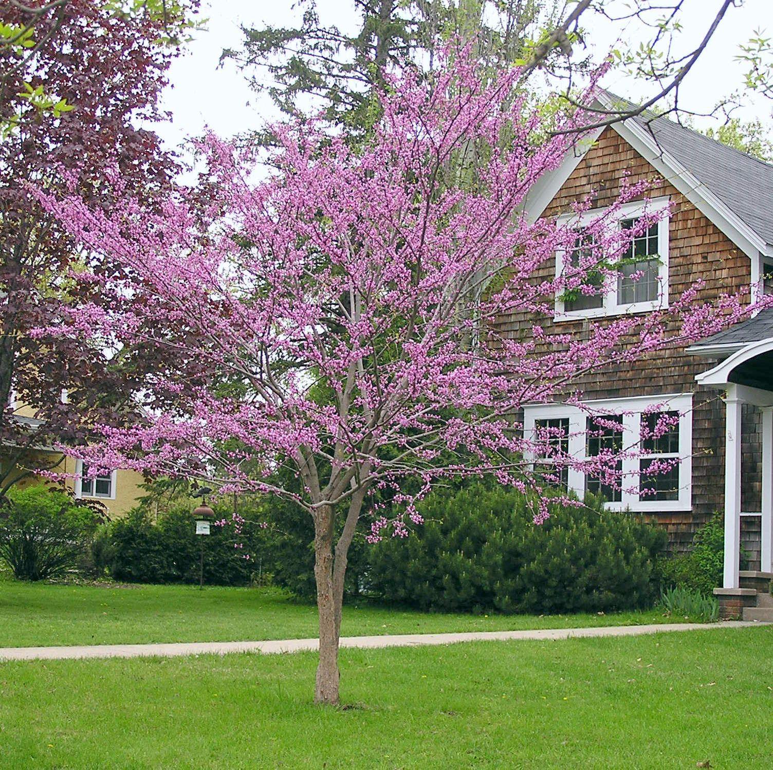 Minnesota Strain Redbud Knecht S Nurseries Landscaping