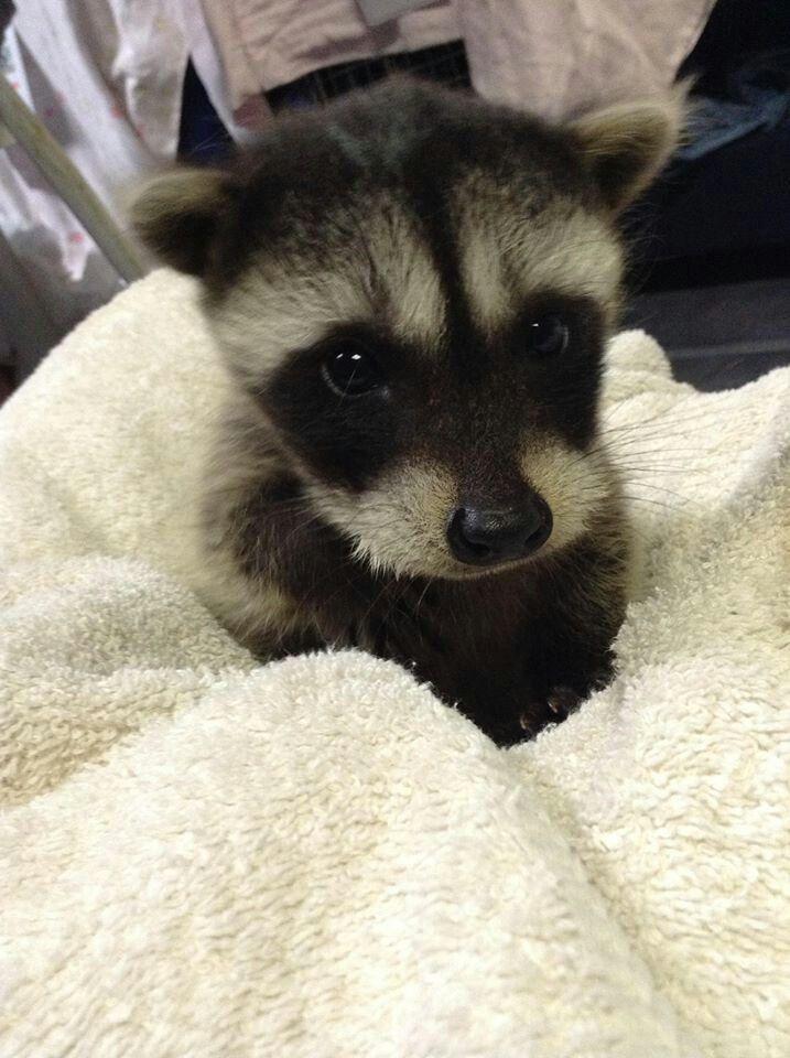 Baby raccoon <3 Looks like our Poppy Panda Bandit! | de