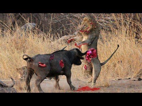 Lion vs bull Elephant ...
