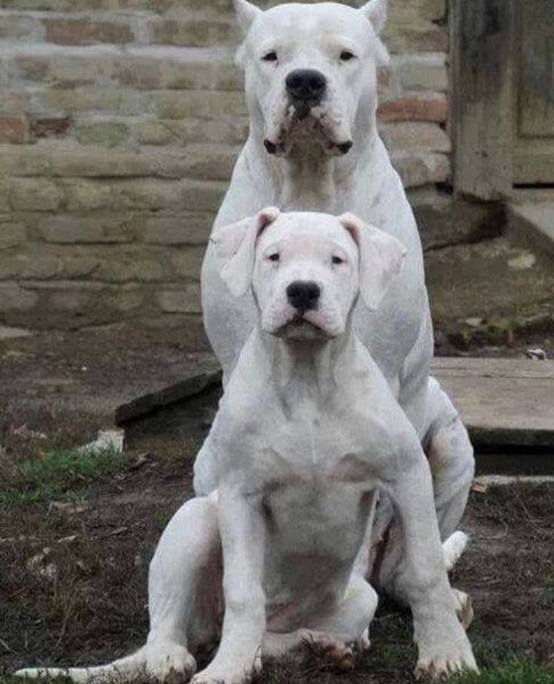 Pin By Deborah Boik On American Bulldogs In 2020 Dog Argentino Bulldog Breeds Bully Dog