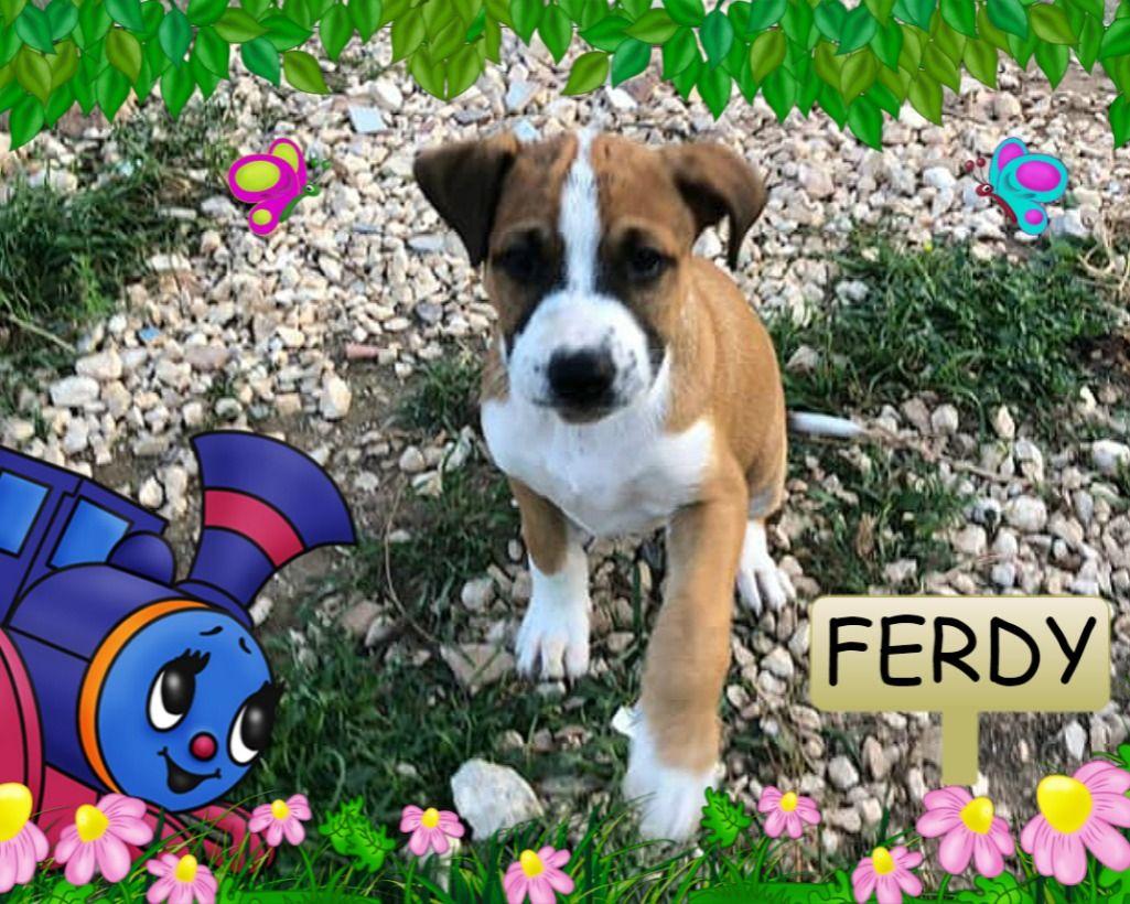 Firenze Ferdy Simil Pitbull Di 3 Mesi Regalo Cuccioli Cani