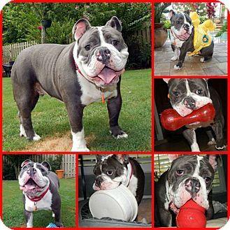 Davenport Fl English Bulldog American Bulldog Mix Meet Loki A