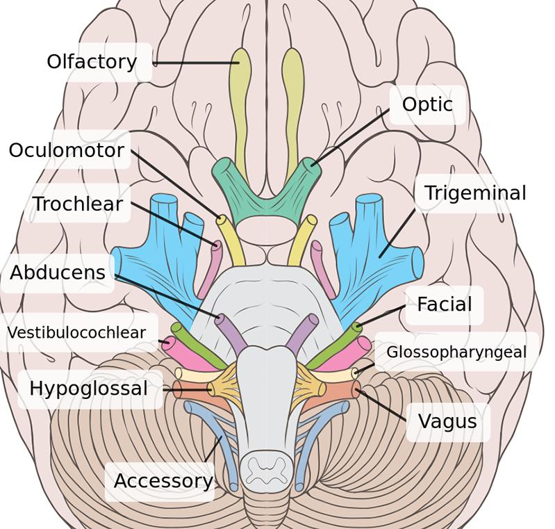 Brain Cranial Nerves Coloring 900px Png 799 761 Cranial Nerves Anatomy Nerve Anatomy Anatomy And Physiology