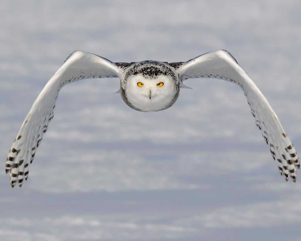 snowy owl audubon field guide animals u2014 birds pinterest
