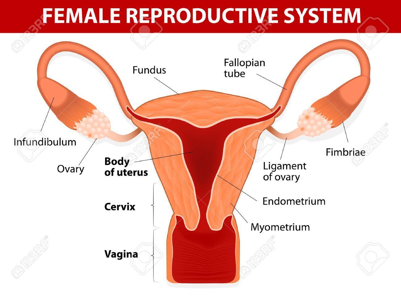 Human Female Reproductive System Diagram Koibana Info Reproductive System Female Reproductive System Fibroids Symptoms