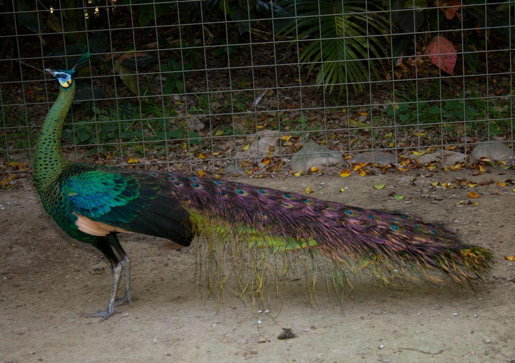 Green peafowl (Pavão muticus) Pavão-verde-de-Java