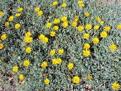 Gazania Ground Cover Xeriscape Landscaping Landscaping Plants