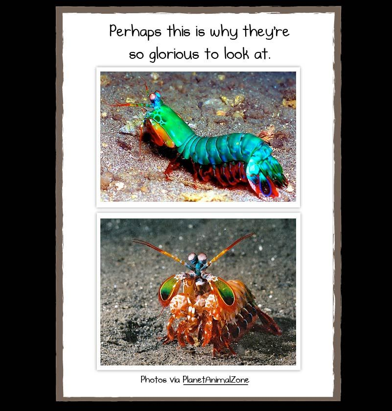 Why The Mantis Shrimp Is My New Favorite Animal The Oatmeal Mantis Shrimp Animals Favorite