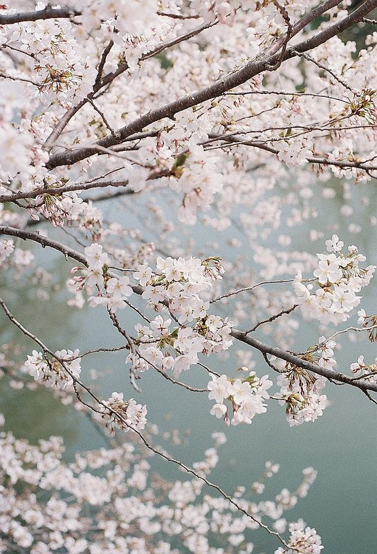 Cherry Blossoms Japan Beautiful Flowers Flowering Cherry Tree Blossom Trees