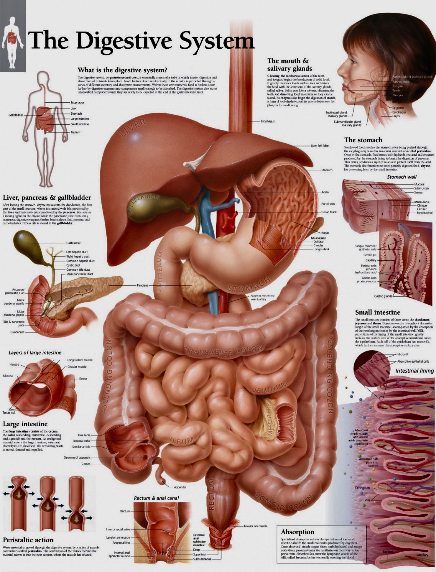 Digestive system | Human digestive system, Digestive ...