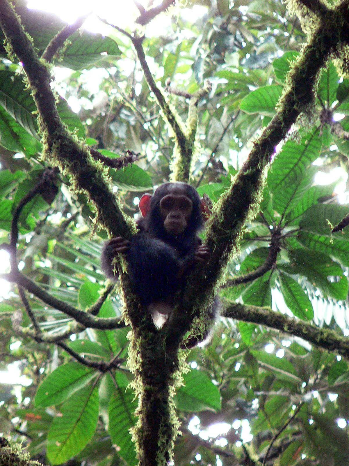 Scary Gorilla       Chimpanzee Attack , Scary Gorilla